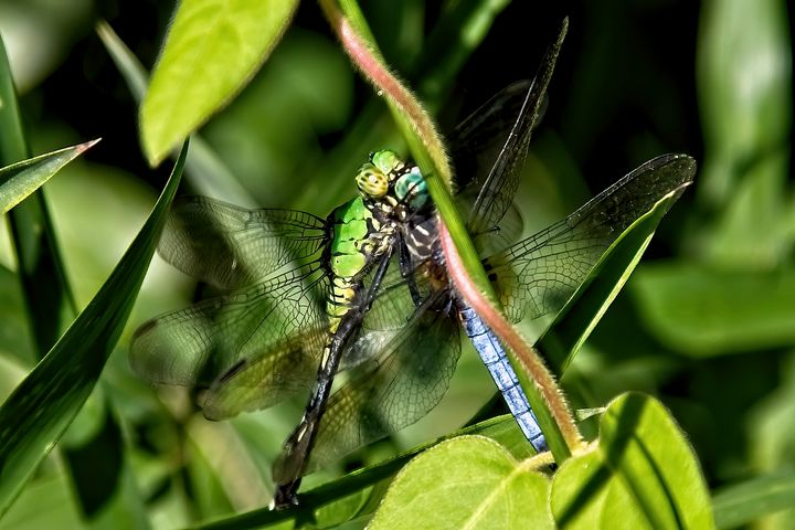 Two Dragonflies Together - Impressions