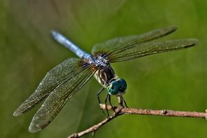 Dragonfly 12