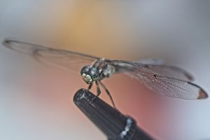 Dragonfly 11