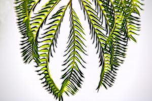 Green Mimosa