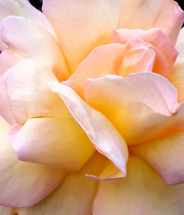 Yellow & Pink Rose - Janay Clare Designs