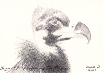 Eurasian Black Vulture Baby-ACEO - Raven D's Wildlife and Pet Portraits