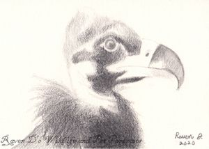 Eurasian Black Vulture Baby-ACEO