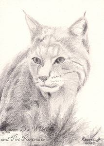 Bobcat ACEO