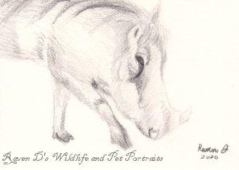 Warthog - Raven D's Wildlife and Pet Portraits