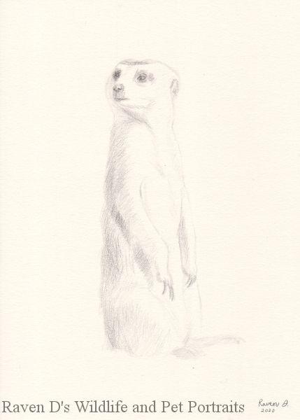 Meerkat Sketch - Raven D's Wildlife and Pet Portraits