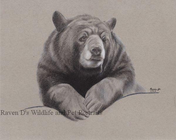 American Black Bear - Raven D's Wildlife and Pet Portraits