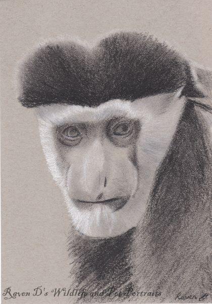 Colobus Monkey - Raven D's Wildlife and Pet Portraits