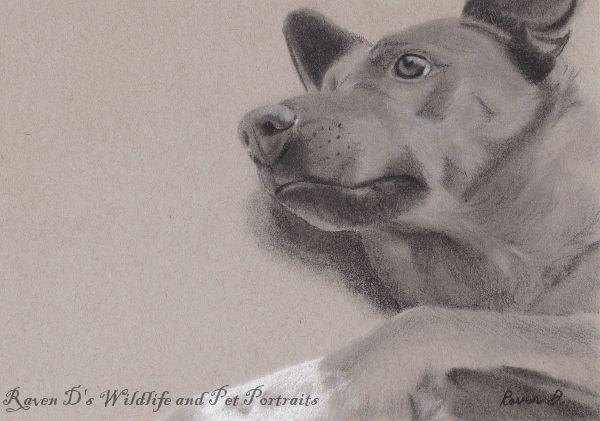 Sonny - Raven D's Wildlife and Pet Portraits