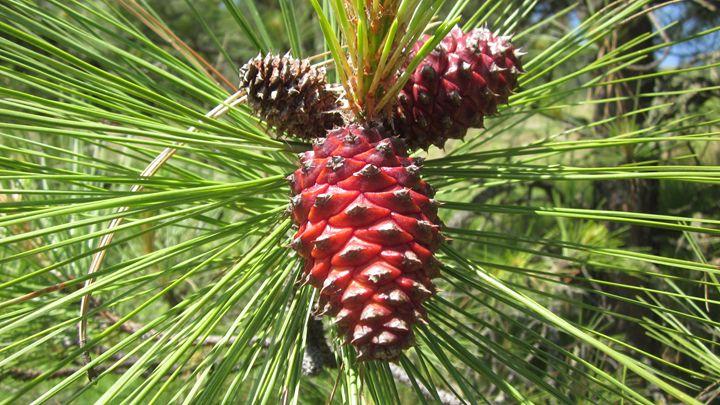 Ponderosa Pine Cone - chris cooper's art