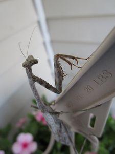 Walt the Praying Mantis