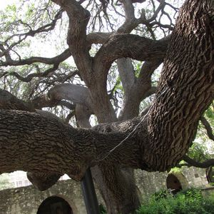 Old Tree spreading out to the world