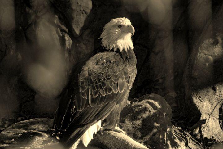 Sepia Bald Eagle - JP Kloess