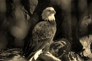 Sepia Bald Eagle