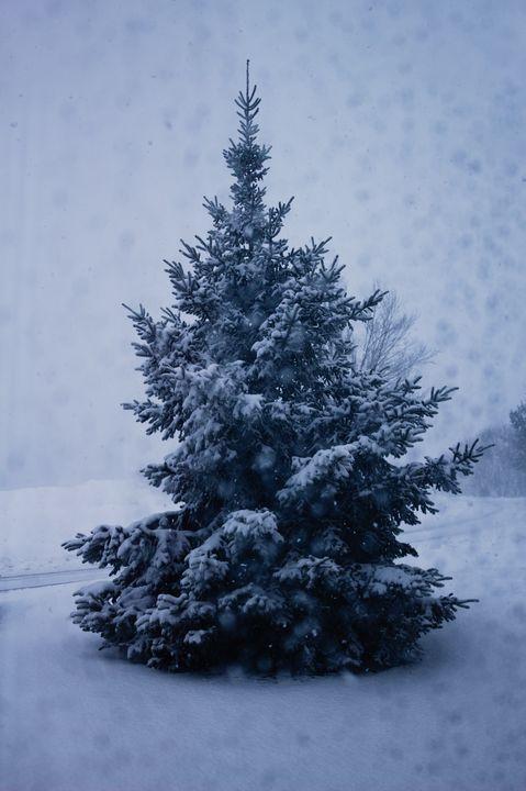 Winter Pine - JP Kloess