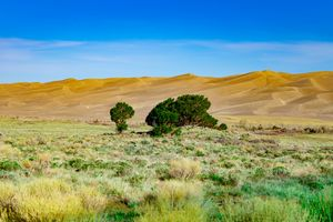 Trees Against the Dunes