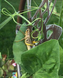 Sweet Pea Grasshopper