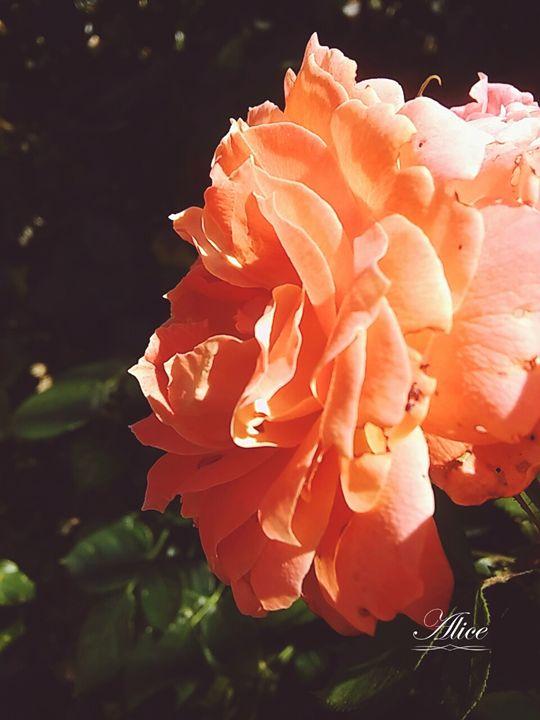 Rose - Flanexism