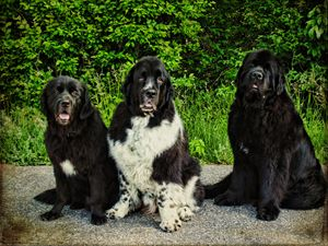 Three Faces of Love Newfoundlands - Pine Singer Photographic Art