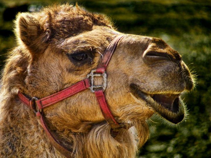 Camel Smiles - Pine Singer Photographic Art