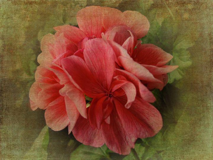 Pink Geranium - Pine Singer Photographic Art