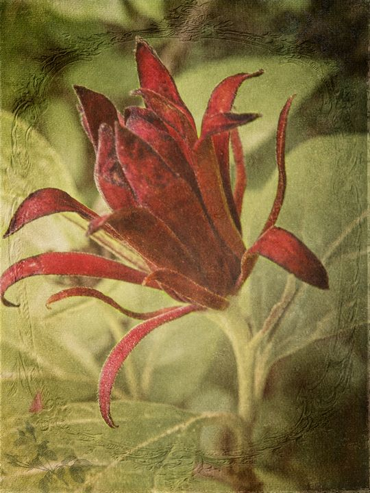 Carolina Allspice - Pine Singer Photographic Art