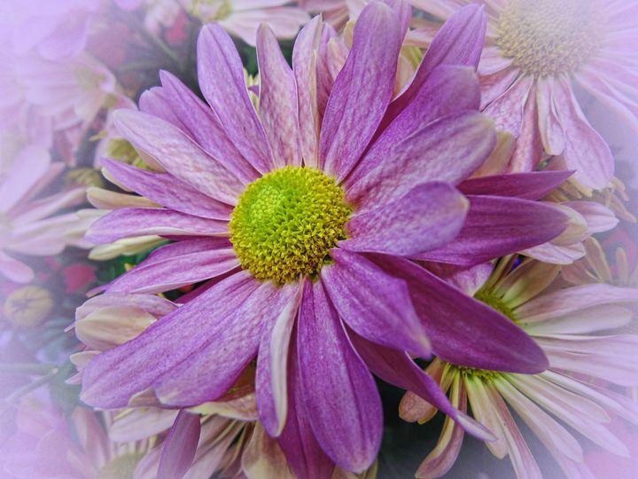 Lavender African Daisy - Pine Singer Photographic Art
