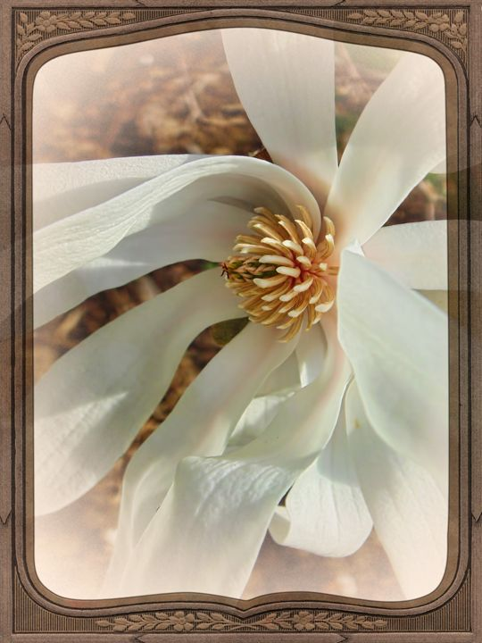 Springtime Magnolia - Pine Singer Photographic Art