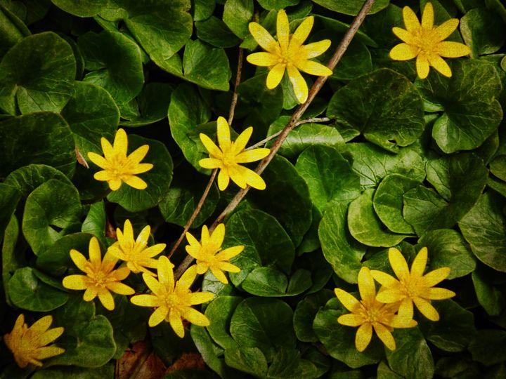 Creeping Wildflowers - Pine Singer Photographic Art