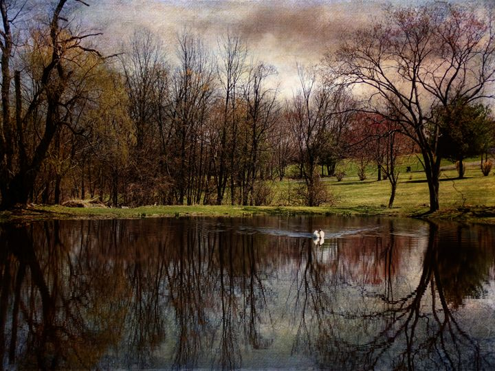 Greeted by the Swan - Pine Singer Photographic Art