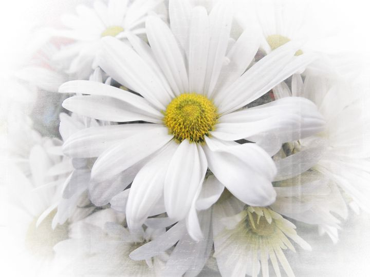 White African Daisy - Pine Singer Photographic Art