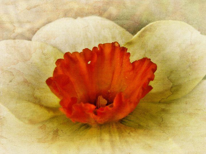Vintage Daffodil - Pine Singer Photographic Art