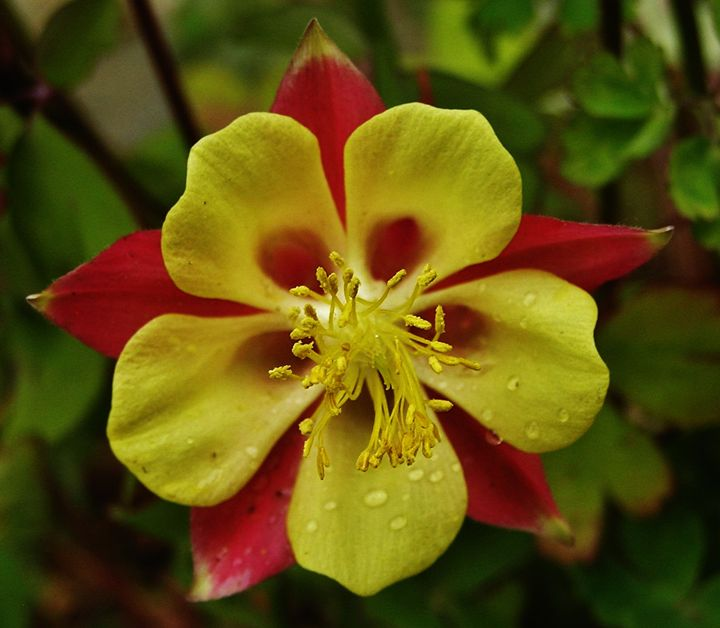 Colorado Columbine - Art From The Woods