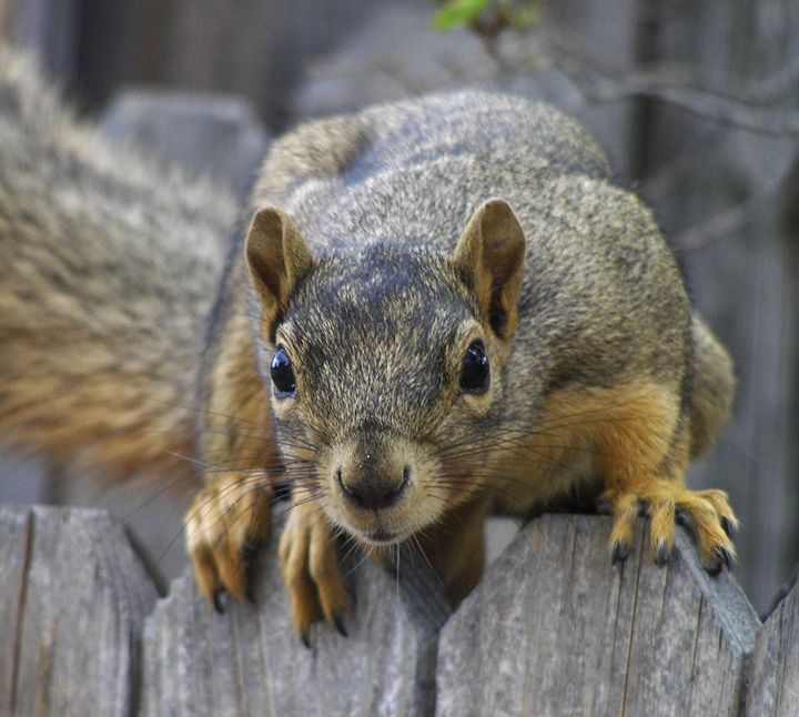 Nosey Squirrel - Art From The Woods