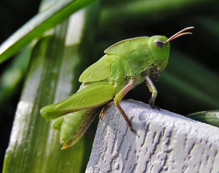 Grasshopper - Art From The Woods