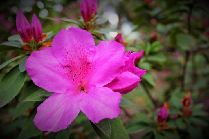 Pink Flower Houston Zoo - Photowalker