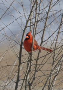 Single Male Cardinal with Branches