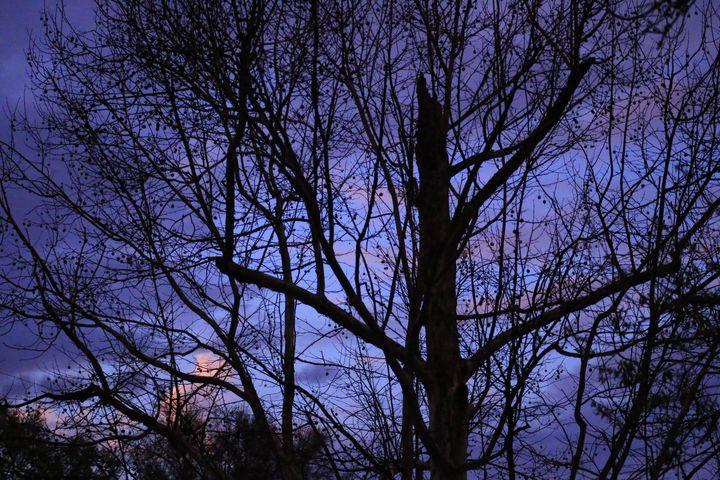 Maple Tree - Brandy's Alluring Images, LLC