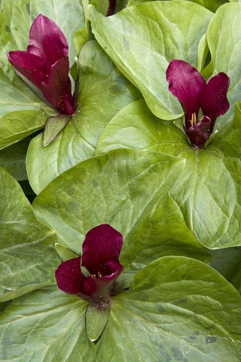 Trillium chloropetalum var. giganteu - Hortiphoto