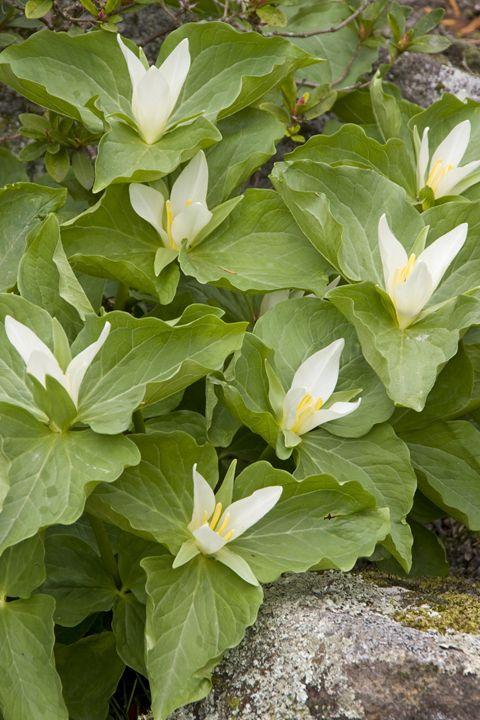 Trillium sessile - Hortiphoto