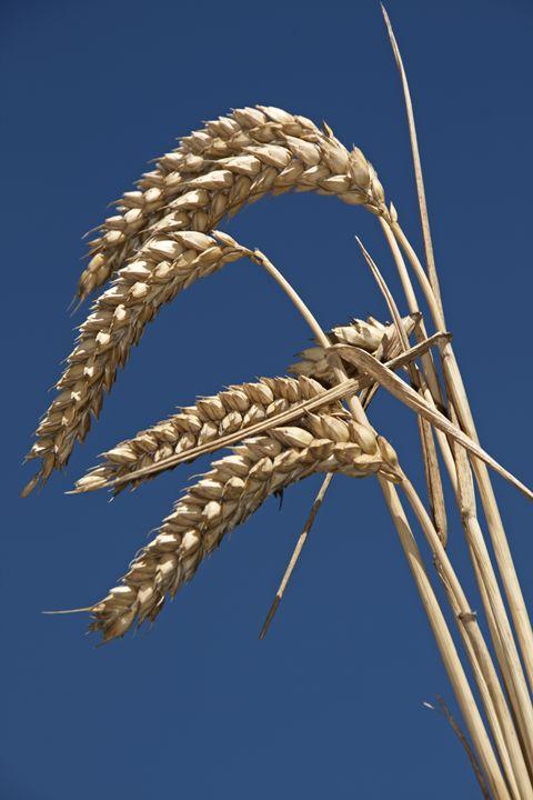 Wheat (Triticum aestivum) - Hortiphoto