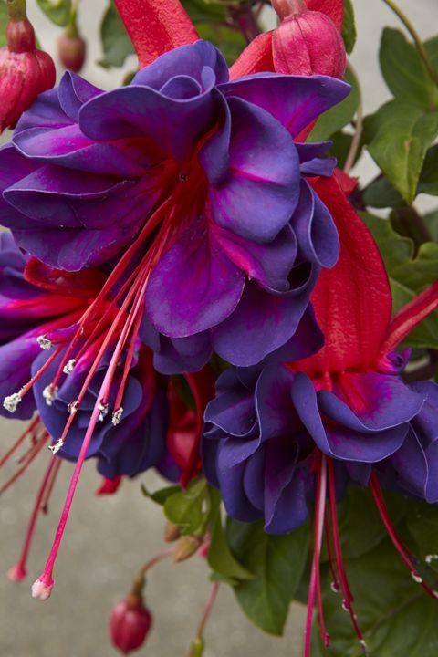 Fuchsia 'Voodoo' - Hortiphoto