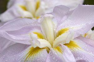 'World's Delight' Japanese Iris