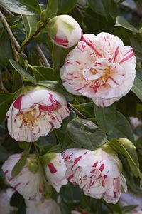 Camellia 'Countess of Orkney'