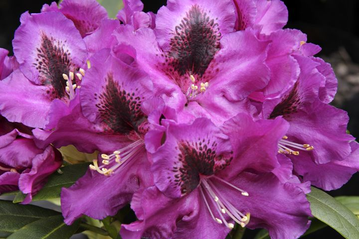 Rhododendron 'Purple Splendour' - Hortiphoto