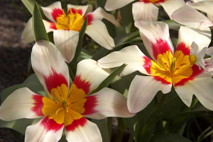 Tulipa kaufmanniana - Hortiphoto
