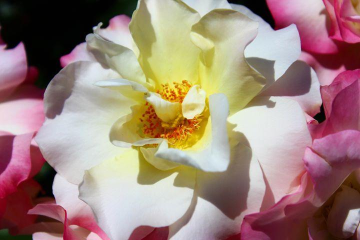Rose in Balboa - Zenbezier