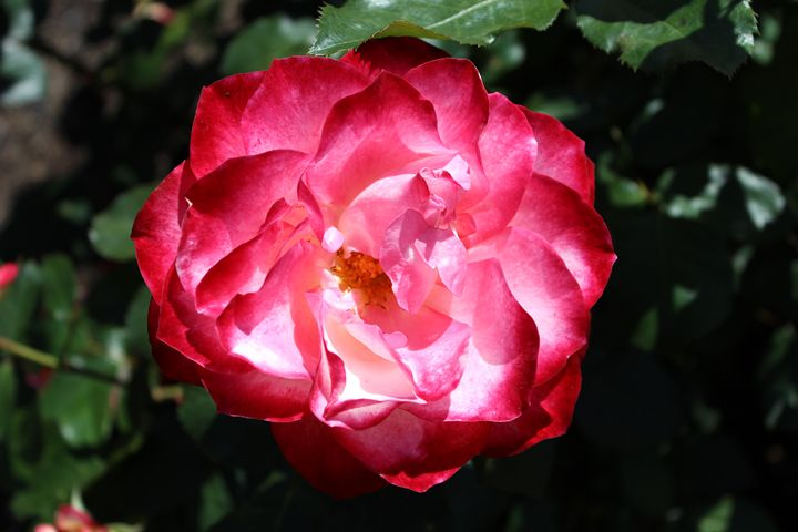 Another Balboa Park Rose - Zenbezier