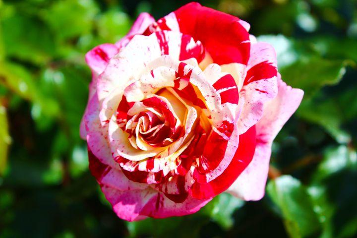 Paint Spill Rose - Zenbezier