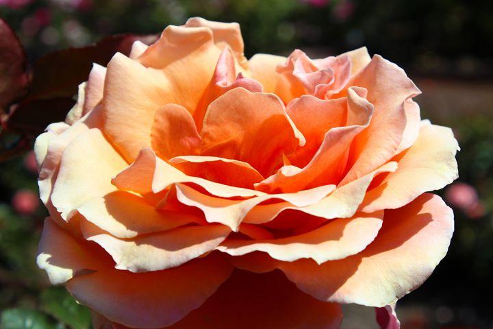 Peach Flavored Rose - Zenbezier